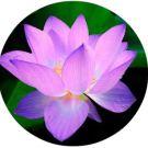 lotus rond